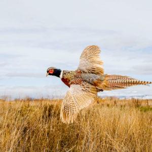 pheasant hunting in Aberdeen